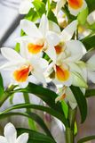 Ορχιδέα Cruentum Dendrobium Στοκ Φωτογραφία