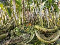 Ορχιδέα Dendrobium φύλλων στον κήπο Στοκ Εικόνες