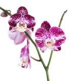Ορχιδέα Phalaenopsis Στοκ εικόνες με δικαίωμα ελεύθερης χρήσης