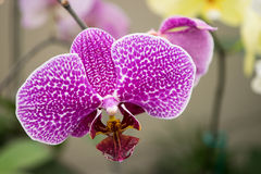 Ορχιδέα Phalaenopsis Στοκ Εικόνα