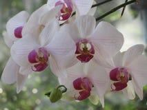 Ορχιδέα Phalaenopsis Στοκ εικόνα με δικαίωμα ελεύθερης χρήσης