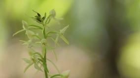Ορχιδέα Platanthera απόθεμα βίντεο