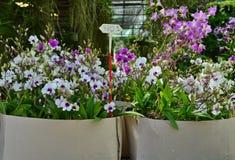 Ορχιδέες Dendrobium για την πώληση Στοκ Φωτογραφίες