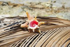 Οστρακόδερμα, αναλογία φύσης, σχέδιο fibonacci Τροπικός παράδεισος σε Guna Yala, Kuna Yala, SAN BLas, νησιά, Παναμάς σπείρα στοκ εικόνες