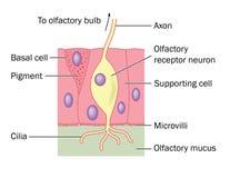 Οσφρητική λεπτομέρεια κυττάρων νεύρων διανυσματική απεικόνιση