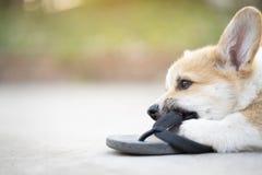 Ουαλλέζικα παπούτσια ιδιοκτητών παιχνιδιού ή δαγκωμάτων κουταβιών σκυλιών corgi pembroke ή πτώση κτυπήματος στοκ εικόνες