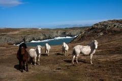 ουαλλέζικες άγρια περι Στοκ Εικόνες