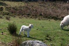 Ουαλλέζικες αρνί και προβατίνα βουνών στοκ φωτογραφία