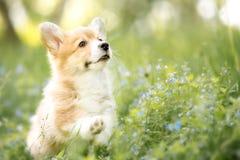 Ουαλλέζικο κουτάβι corgi pembroke στα λουλούδια φθινοπώρου ή καλοκαιριού στοκ φωτογραφία με δικαίωμα ελεύθερης χρήσης