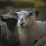 Ουαλλέζικα πρόβατα UK Στοκ εικόνα με δικαίωμα ελεύθερης χρήσης