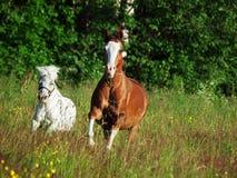 Ουαλλέζικο πόνι και μίνι Appaloosa που τρέχουν στον τομέα Στοκ Φωτογραφία