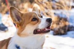 Ουαλλέζικο σκυλί corgi Pembroke Στοκ εικόνα με δικαίωμα ελεύθερης χρήσης