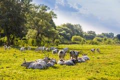Ουγγρικά γκρίζα βοοειδή στον τομέα Στοκ Φωτογραφίες