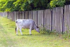 Ουγγρικά γκρίζα βοοειδή στον τομέα Στοκ Φωτογραφία
