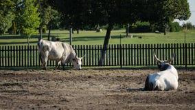 Ουγγρικά γκρίζα βοοειδή στο αγρόκτημα απόθεμα βίντεο