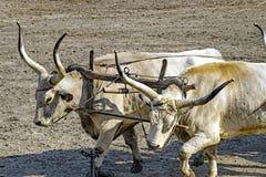 Ουγγρικά γκρίζα βοοειδή Στοκ φωτογραφία με δικαίωμα ελεύθερης χρήσης