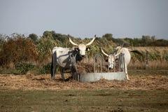 Ουγγρικά γκρίζα cattles Στοκ φωτογραφία με δικαίωμα ελεύθερης χρήσης