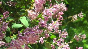 Ουγγρικά ιώδη λουλούδια σε έναν κλάδο με τα φύλλα απόθεμα βίντεο