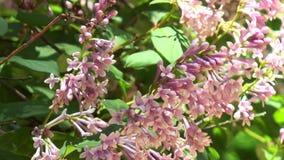 Ουγγρικά ιώδη λουλούδια σε έναν κλάδο φιλμ μικρού μήκους