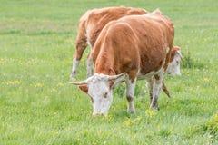 Ουγγρικές αγελάδες Στοκ φωτογραφίες με δικαίωμα ελεύθερης χρήσης