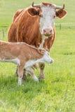 Ουγγρική οικογένεια αγελάδων Στοκ Εικόνες