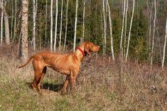 Ουγγρικό κυνήγι κυνηγόσκυλων Κυνήγι του σκυλιού Viszla Μια ημέρα άνοιξη Στοκ φωτογραφία με δικαίωμα ελεύθερης χρήσης