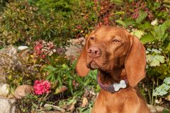 Ουγγρικό κυνηγόσκυλο Το σκυλί εξετάζει το φακό Πορτρέτο ενός ουγγρικού Vizla Dog& x27 μάτια του s Ηλιόλουστη ημέρα στο κυνήγι Στοκ φωτογραφίες με δικαίωμα ελεύθερης χρήσης
