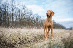 Ουγγρικό σκυλί δεικτών στο χειμερινό τομέα Στοκ Φωτογραφίες