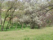 Ουκρανία, άνοιξη, δέντρα Στοκ εικόνες με δικαίωμα ελεύθερης χρήσης