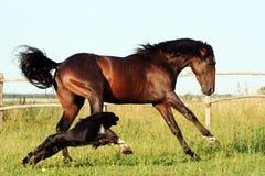Ουκρανικά άλογα φυλής αλόγων Στοκ Φωτογραφίες