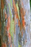 ουράνιο τόξο ευκαλύπτων &phi Στοκ Εικόνα