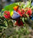 Ουράνιο τόξο lorikeet που ταΐζει με ένα κόκκινο λουλούδι βουρτσών μπουκαλιών στοκ φωτογραφία