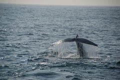 Ουρά γαλάζιων φαλαινών Στοκ Εικόνες