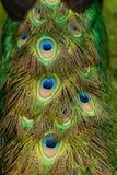 Ουρά ενός αρσενικού Peacock Στοκ φωτογραφίες με δικαίωμα ελεύθερης χρήσης