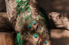 Ουρά ενός μπλε peacock επενδύει με φτερά peacock το υπόβαθρο στην ηλιοφάνεια Στοκ Φωτογραφίες