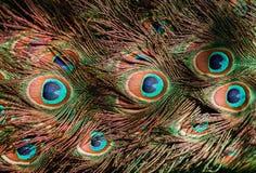 Ουρά ενός μπλε peacock επενδύει με φτερά peacock το υπόβαθρο Στοκ εικόνες με δικαίωμα ελεύθερης χρήσης