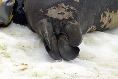 Ουρά μιας νέας σφραγίδας ελεφάντων σε ένα molt στοκ εικόνες