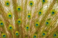 Ουρά του peacock Στοκ Εικόνες