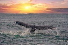 Ουρά φαλαινών που πηγαίνει κάτω στο υπόβαθρο ηλιοβασιλέματος Στοκ εικόνα με δικαίωμα ελεύθερης χρήσης