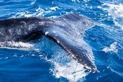 Ουρά φαλαινών Humpback και μπλε νερό στοκ εικόνες