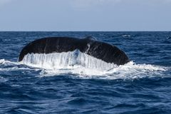 Ουρά φαλαινών Humpback που εξαφανίζεται στον ωκεανό Στοκ Εικόνες
