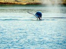 Ουρά φαλαινών Στοκ Εικόνα