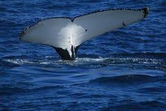 Ουρά φαλαινών Στοκ εικόνες με δικαίωμα ελεύθερης χρήσης