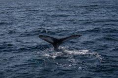 Ουρά φαλαινών Στοκ εικόνα με δικαίωμα ελεύθερης χρήσης