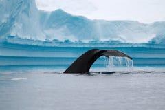 Ουρά φαλαινών Humpback Στοκ Εικόνες