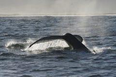 ουρά 2 humpback στοκ φωτογραφία με δικαίωμα ελεύθερης χρήσης