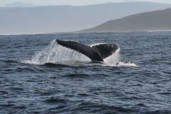 ουρά 4 humpback Στοκ εικόνα με δικαίωμα ελεύθερης χρήσης