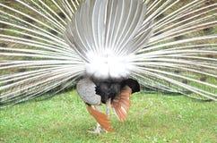 Ουρά Peacock από πίσω Στοκ φωτογραφίες με δικαίωμα ελεύθερης χρήσης