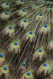 Ουρά Peacock Στοκ εικόνα με δικαίωμα ελεύθερης χρήσης