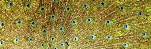 Ουρά Peacocks Στοκ Εικόνες